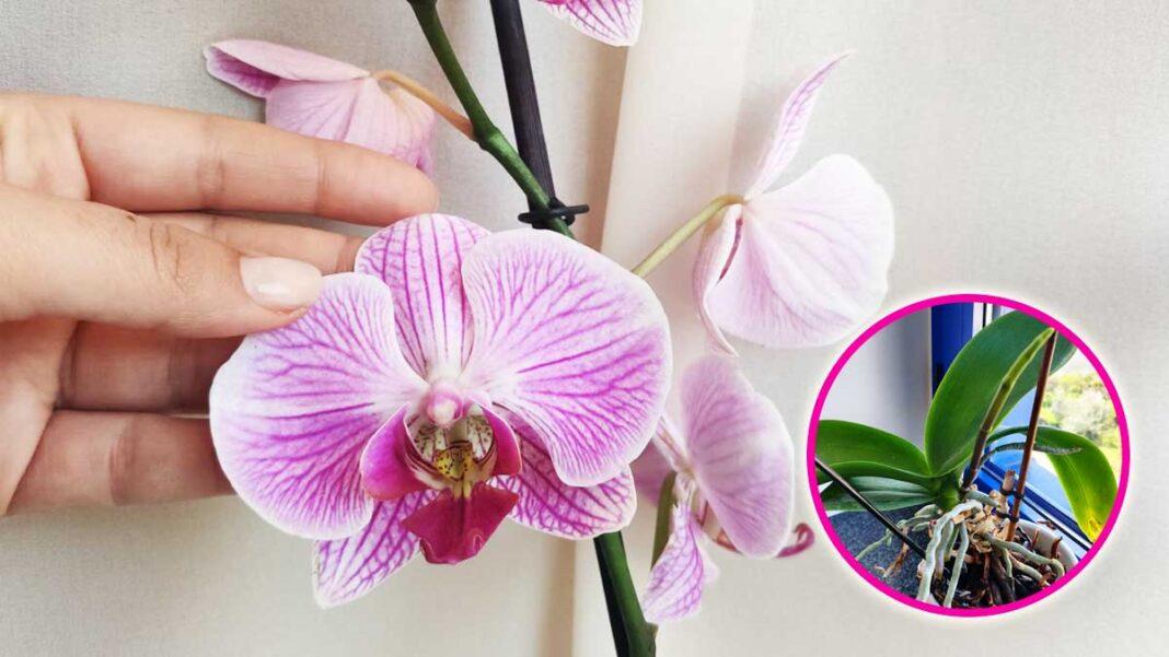 orchidea-cosa-non-fare