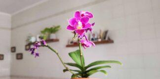 significati-colori-orchidea